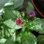 Pulmonaria_silver_bouquet.