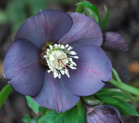 HELLEBORE!! at last one that has not been eaten or drowned!! (Helleborus orientalis Smokey Blues.)