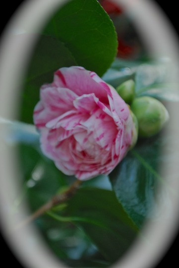 Camellia.... (Camellia japonica (Camellia)?)