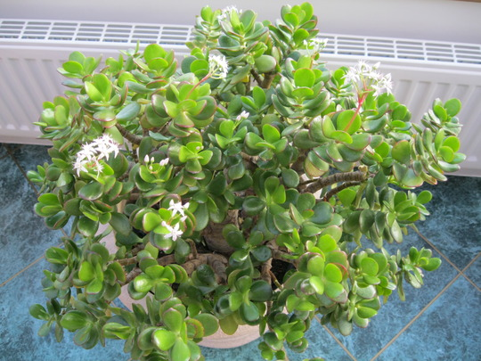 Crassula Ovata..(Jade or Money plant)