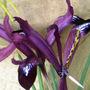 Iris_reticulata