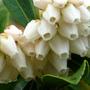 Pieris_japonica_andromeda