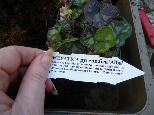Hepatica pyrennaica 'Alba' (Hepatica pyrennaica 'Alba')