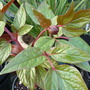 Paeonia cambessedesii (Paeonia cambessedesii)