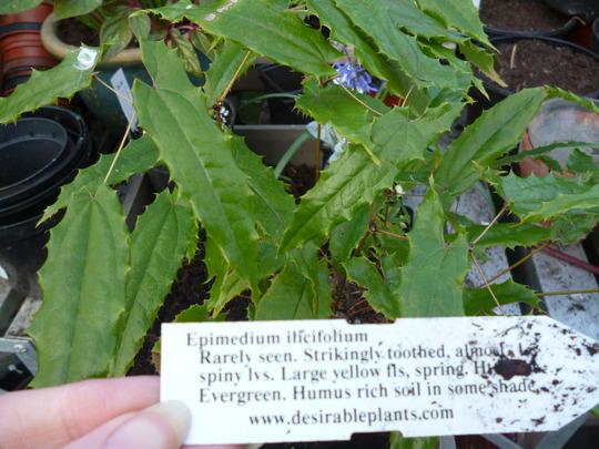Epimedium ilicifolium (Epimedium ilicifolium)