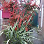 Red pyracantha....