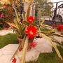Beautiful flowers and buds (Epiphyllum Ackermannii)
