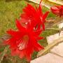 Gorgeous big flowers (Epiphyllum Ackermannii)