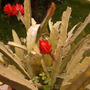Rough and gentle in the same time (Epiphyllum Ackermannii)