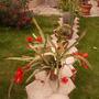 Wonderful decoration in the yard (Epiphyllum Ackermannii)