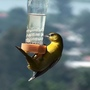 Acrobat Female Oriole