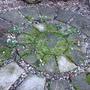 Snowdrop circle (Galanthus nivalis)