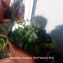 Snowdrops_on_balcony_23_02_2012