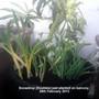 Galanthus elwesii (Snowdrop)