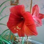 Amaryllis 1st of 2014 Flowers fully open 15-02-2014 002 (Amaryllis Hippeastrum)