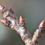 Cherry Tree Bud