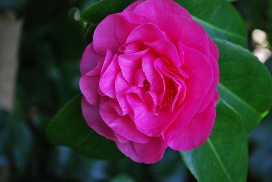 Camellia....... (Camellia)