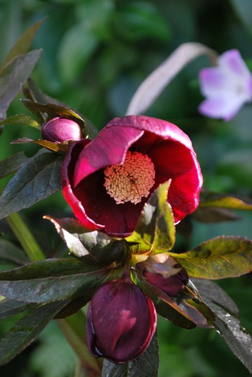 Hellebore Harvington Red.. (Helleborus hybridus Harvington Red.)