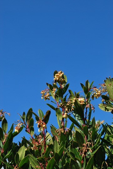 A bee on the Arbutus, against a perfect blue sky...... (Arbutus unedo (Strawberry tree))