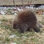 Porcupine, February 21