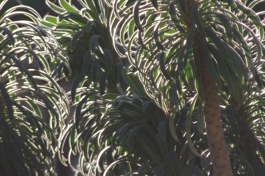 Sun lit Euphorbia (Euphorbia characias (Spurge))