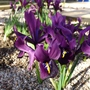 Iris_george_and_iris_reticulata_j_s_dijt_