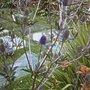 Sea holly 1yr old plant taken 13th July 2008 (Eryngium planum (Sea Holly))