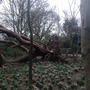 Fallen tree amongst the snowdrops at Pine Lodge gardens