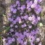 Crocus_chrysanthus_blue_pearl_2014