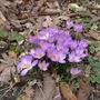 Crocus_tommasinianus_whitewell_purple_2014