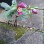 Hellebore seedling (Hellebore)
