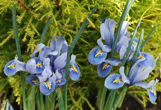 Iris Alida.... (Iris reticulata (Alida...)
