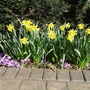 Narcissus 'Rijnveld's Early Sensation' - 2014 (Narcissus 'Reinveld's Early Sensation')