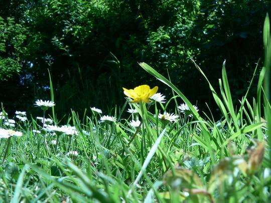 On the ground (Ranunculus aconitifolius (Aconite-Leaved Buttercup))