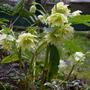 Helleborus_golden_lotus_strain_2