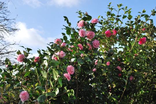 Camellias in the sunshine..... (Camellias)