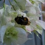 Bee in the conservatory on the Bougainvillea... (Bougainvillea glabra (Lesser Bougainvillea))