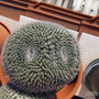 "This is why I call it ""The Owl"" (Mammillaria Hahniana)"