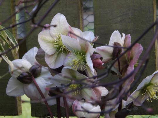 Helleborus x ericsmithii Winter Moon Beam (Helleborus x ericsmithii)
