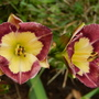 Daylily cross - BSA#7