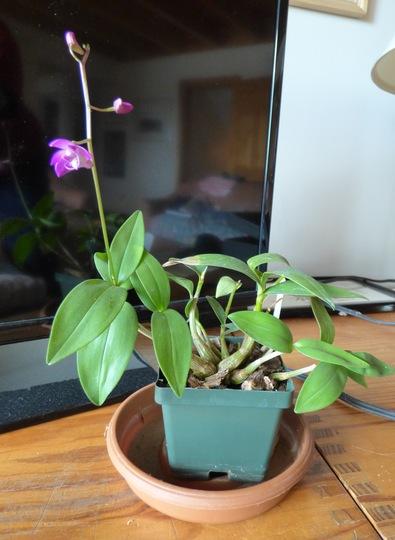 """Dendrobium Kingianum """"Betty"""""""