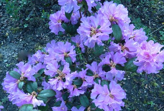 Azalea Diamond Lilac