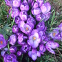 Crocuses_ruby_giant