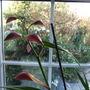 Cymbidium_orchid