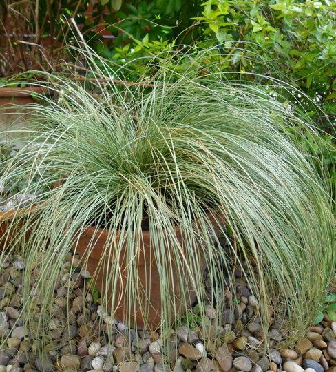 Carex comans 'Frosted Curls'  (Carex comans 'Frosted Curls')