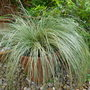 Carex comans 'Frosted Curls'  (Carex comans 'Frosted Curls')