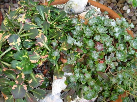 Sedum 'Cappa Blanca' & London Pride (Sedum spathulifolium 'Cappa Blanca')