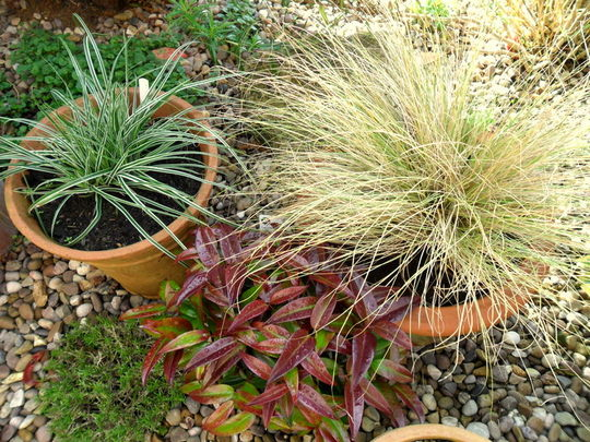 Front garden pots (Carex oshimensis 'Everest White')