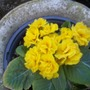 Yellow double Primrose, which has been flowering for ages !