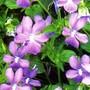 Cornuta_lilac_horned_violet